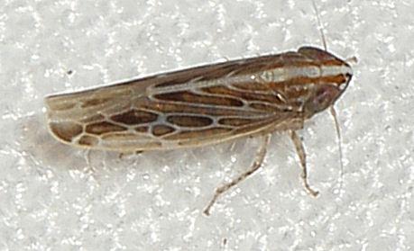 041612Hopper3 - Mendozellus laredanus