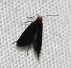 Mystery black micro - Doleromorpha porphyria
