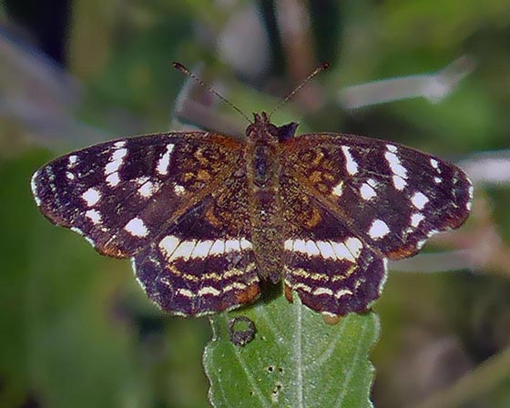 Chestnut Crescent...? - Anthanassa argentea - female