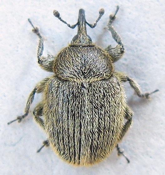 European Curculionid Weevil - Rhinusa tetra