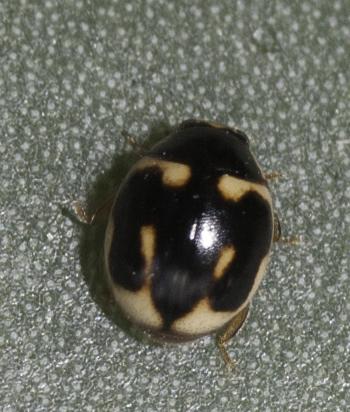 tiny one - Hyperaspis trifurcata - male