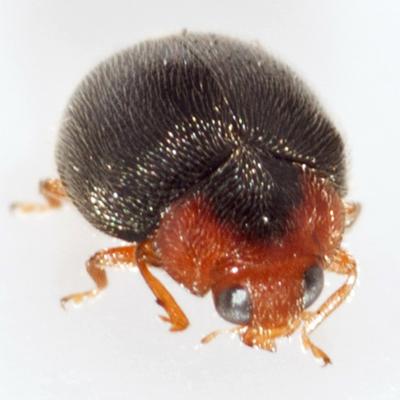 Lady Beetle - Scymnus