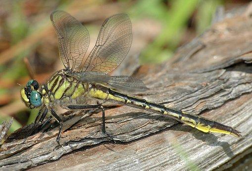 Clearlake Clubtail - Phanogomphus australis - female