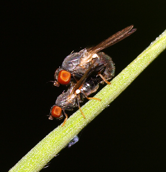 Fly ID - Pseudodinia antennalis - male - female