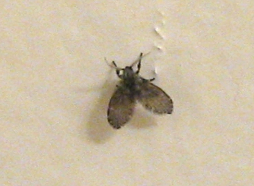 Small Black Midge In My House What Is It Clogmia
