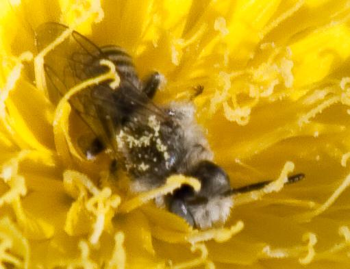 Desert Bee - Hesperapis - male