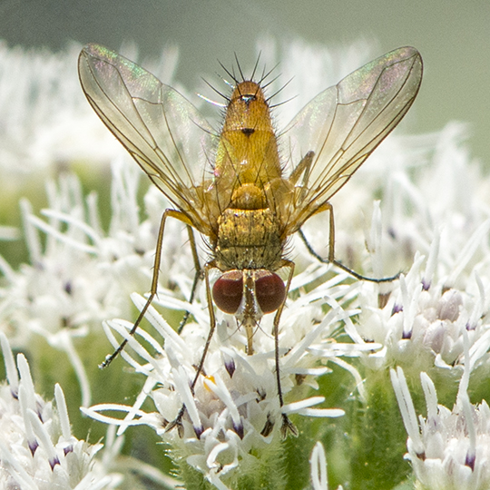 Fly ID request - Leskia - male