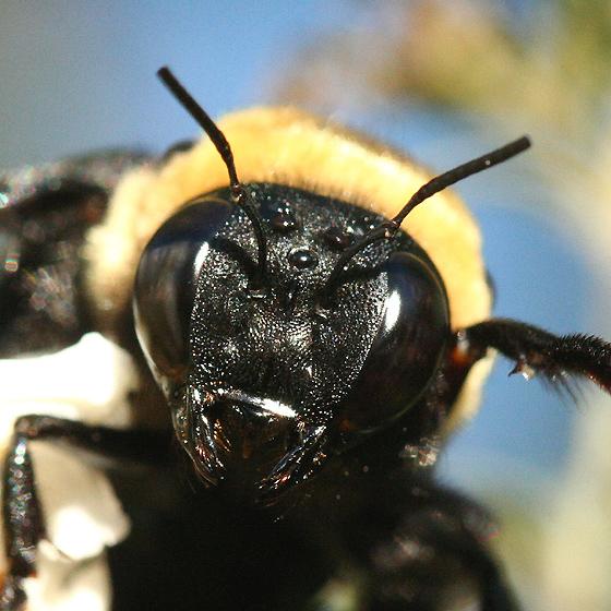 Male Eastern Carpenter Bee Eastern Carpenter Bee