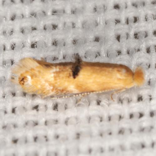 Unknown Moth - Bucculatrix