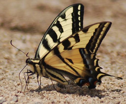 Western Tiger Swallowtail (Papilio rutulus)? - Papilio rutulus - male