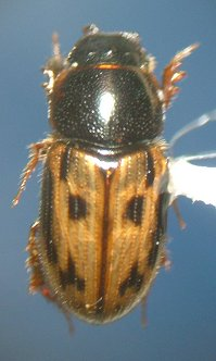 Dung beetle - Aphodius distinctus