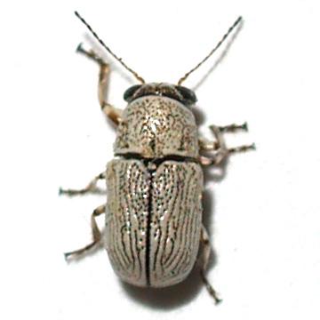 Pachibrachys on Sage - Pachybrachis