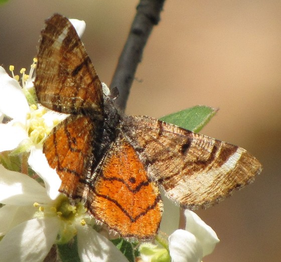 Red-winged Wave Moth - Dasyfidonia avuncularia - male
