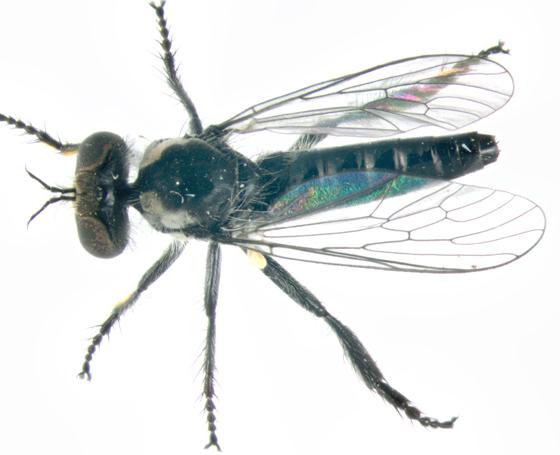 Asilidae, dorsal - Holopogon