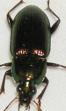 It Wasn't Black or Brown - Poecilus chalcites