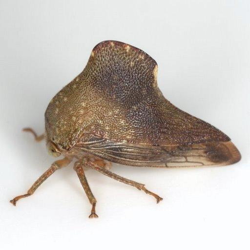 Telamona monticola (Fabricius) - Telamona monticola - female