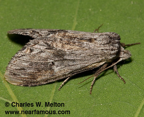 Prominent Moth - female