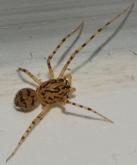 Spider - Scytodes thoracica