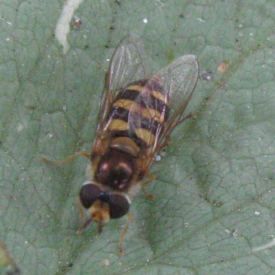 Syrphidae 01c - Eupeodes fumipennis