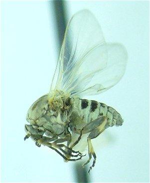 Black Fly - Simulium