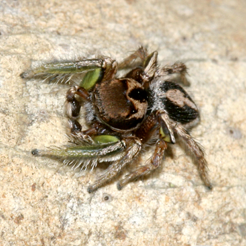 jumping spider with green front legs - Habronattus viridipes - male
