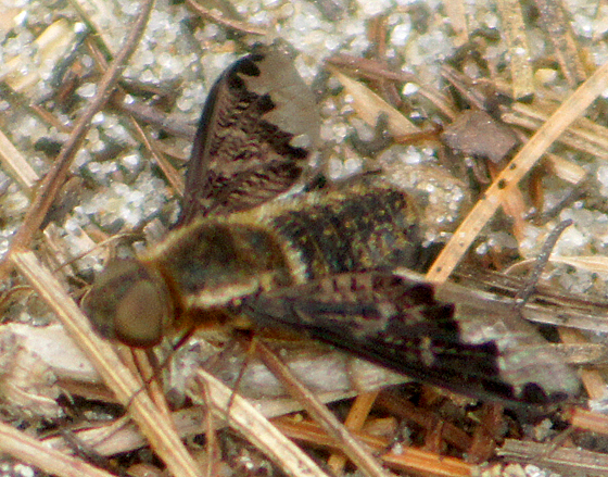 Which Beefly? - Hemipenthes