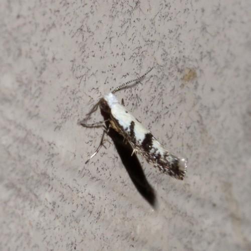 Micro moth - Argyresthia austerella