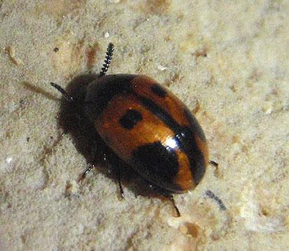 small beetle - Diaperis maculata