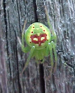 green spider on fence - Araneus cingulatus