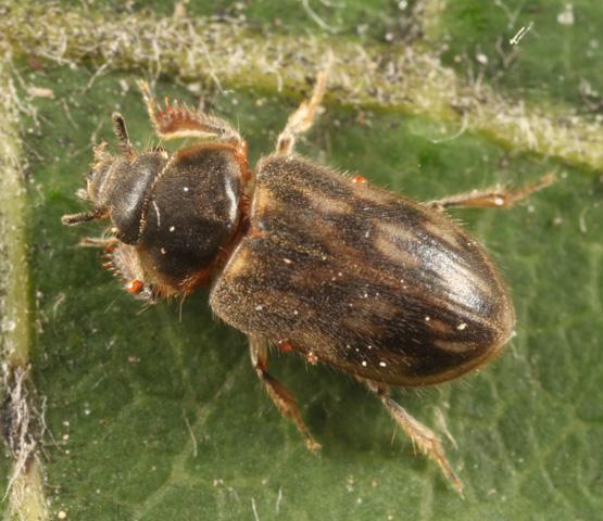 Variegated Mud-loving Beetle - Heterocerus fenestratus