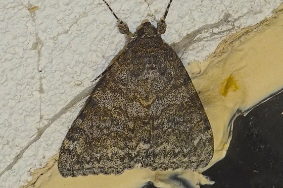 Joined Underwing - Catocala junctura
