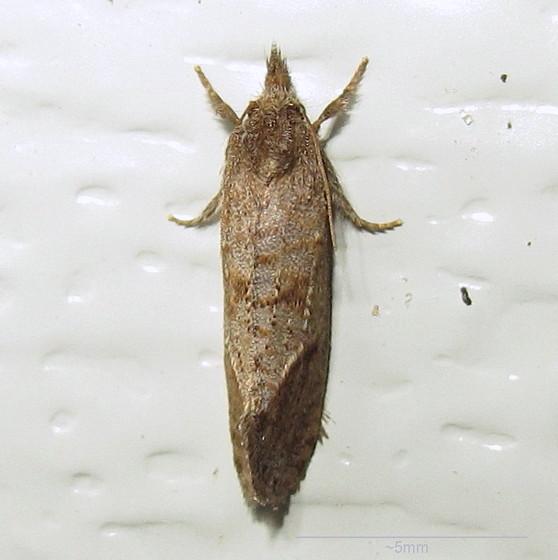 Hodges #0371 - Piger Grass Tubeworm Moth? - Acrolophus texanella