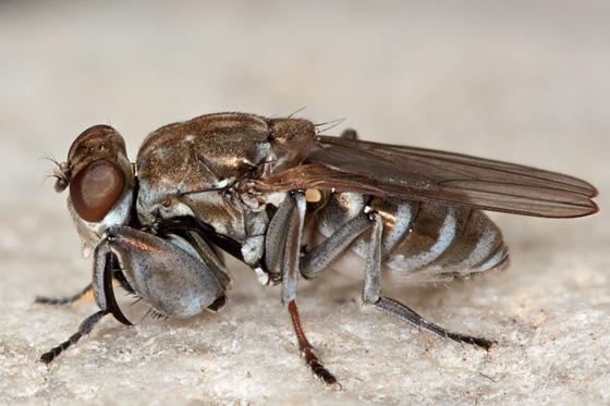 Mantis Fly - Ochthera