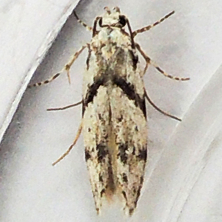 Stripe-backed Moth - Arogalea cristifasciella