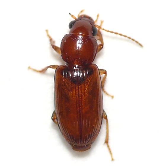 Ground beetle 10.06.15 - Acupalpus testaceus