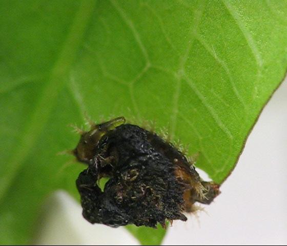 Cassidinae on bindweed. Larva depositing a drop of excreta. - Charidotella sexpunctata