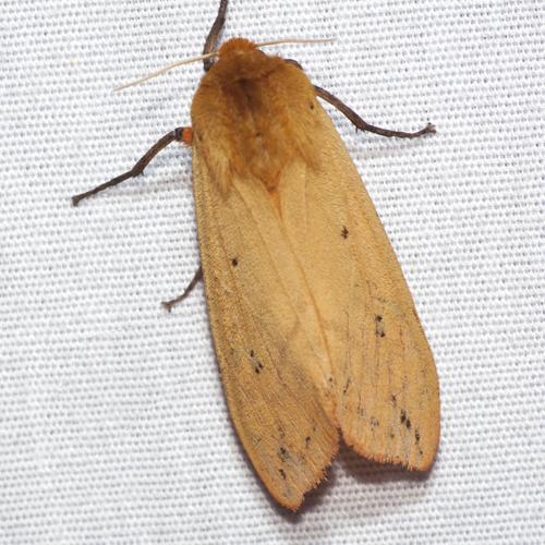 Isabella Tiger Moth - Hodges #8129 - Pyrrharctia isabella