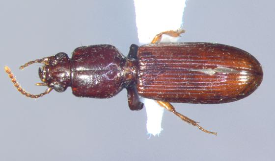 Carabidae, dorsal - Clivina impressefrons
