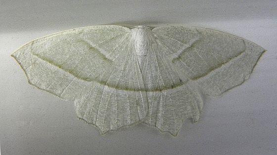 Pennsylvania Moth - Campaea perlata