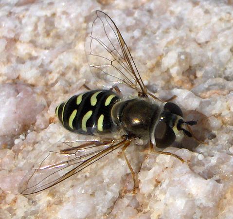 Syrphid Fly - Eupeodes volucris