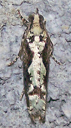 Chimoptesis pennsylvaniana
