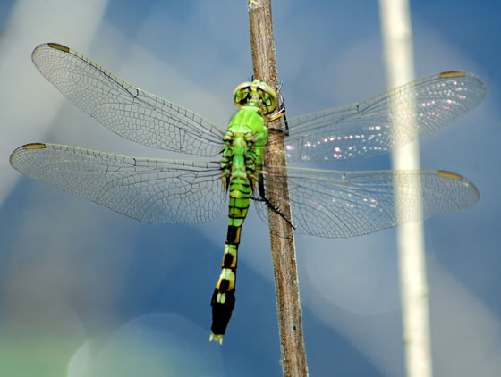 Dragonfly - female Eastern Pondhawk 1 - Erythemis simplicicollis - female