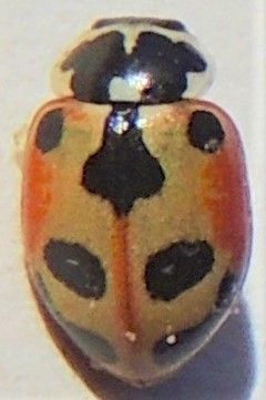 Is this Hippodamia parenthesis - Parenthesis Lady Beetle? - Hippodamia