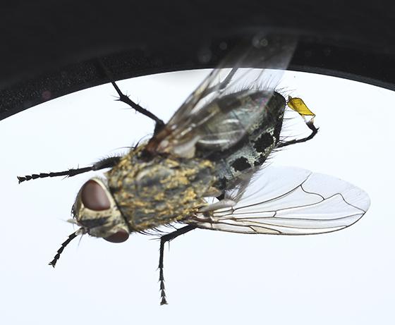 Fly found on Milkweed - Pollenia