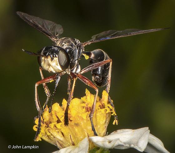 Physoconops bulbirostris - male