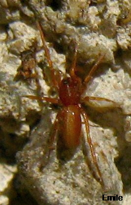 Tiny Red Spider With Long Yellow Triangle On Back And Partly Yellow