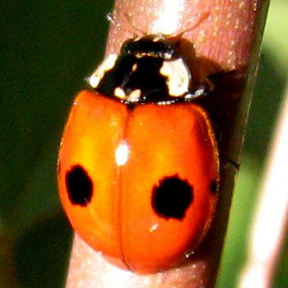 Coccinellidae 6-01-10 02 - Adalia bipunctata