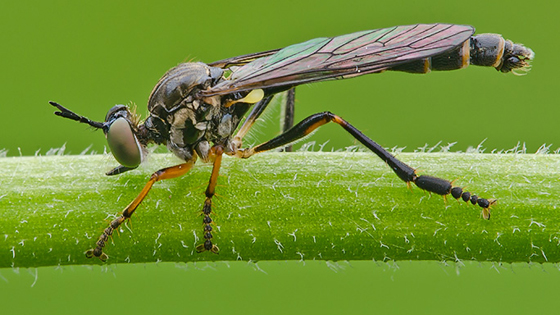 Robber Fly? - Dioctria hyalipennis