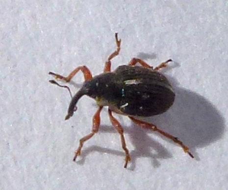 Snout or Weevil - Amalus scortillum
