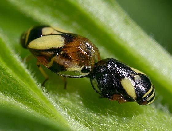 Dogwood Spittlebugs (mating) - Clastoptera proteus - male - female